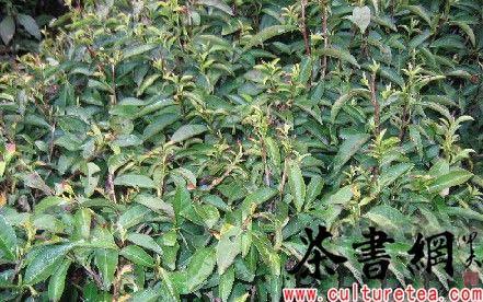刘耀辉说,自己的40多亩乌牛早茶叶损失每亩至少1000元,这次晚霜至少